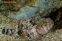 "0109-08pp  Spotted Scorpionfish ""Venomous Spines on Fish"" - Scorpaena plumieri  © David Kuhn/Dwight Kuhn Photography"
