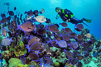 Blue tangs in aggregation foraging along reef with scuba diver, Bonaire, Netherlands Antilles, Caribbean, Atlantic, MR
