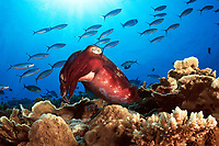 Cuttlefish, Sepia sp., hovering over Coral Reef with Twinstripe Fusilier, Pterocaesio marri, Walindi, Kimbe Bay, Bismarck Sea, Papua New Guinea