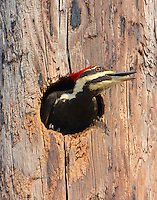 Female pileated woodpecker looking out of nesting cavity in utility pole