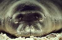 Hawaiian Monk Seal gray pup, Laysan I. Endangered Species