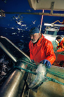Fisherman Jan Jørgensen on his boat Røstjenta..The Lofoten is a very important fishing center, especially for the cod (skrei in Norwegian), attracted by the rich food brought by the Gulf Stream.