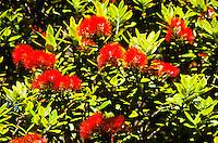 Pohutukawa in blossom - Auckland, New Zealand