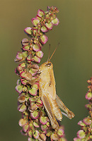 Grasshopper, Acrididae, adult with dew, Welder Wildlife Refuge, Rockport, Texas, USA