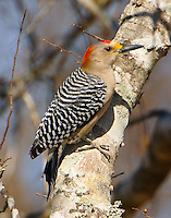 Adult male golden-fronted woodpecker