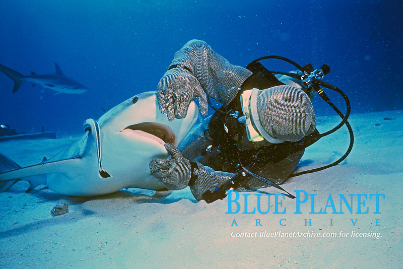scuba diver wearing steel chain mail mesh suit and Caribbean reef shark, Carcharhinus perezii, Bahamas , Caribbean Sea, Atlantic Ocean