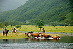 Herding cattle across the Pasagshak River to new pasture. Pasagshak Ranch on Kodiak Island,  Southwest Alaska