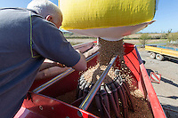 Loading drill with spring beans - Suffolk, April