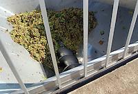 Azienda Agricola Casale Marchese è una azienda in una delle zone più tipiche della produzione del vino Frascati D.O.C. Situata nell'area dei Castelli Romani..The Casale Marchese company lies in Roman Hills. The most typical area for the wine production Frascati D.O.C..Spremitura uve. Squeezing grapes...