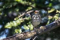 Bicknell's Thrush (Catharus bicknelli) singing on its breeding territory near the peak of Slide Mountain, Shandaken, Ulster County, New York.