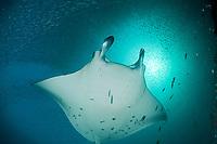 reef manta ray, Mobula alfredi, being cleaned by moon wrasses, Thalassoma lunare (under left pectoral fin tip), under cloud of silversides, at mouth of Hanifaru Bay, Hanifaru Lagoon, Baa Atoll, Maldives, Indian Ocean