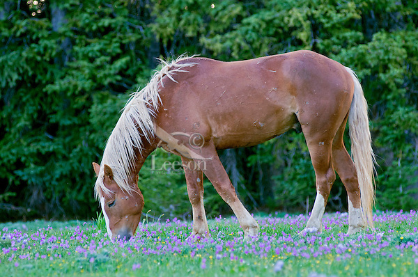 Wild Horse or feral horse (Equus ferus caballus) stallion grazing among wildflowers--mostly shooting stars.  Western U.S., summer.