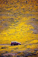 A vehicle passes through carpets of goldfields (Lasthenia californica) Antelope Valley near Lancaster, California