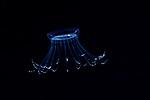 Solmissus jellyfish , hydrozoa, Black Water Diving; Gulf Stream Current; Jellyfish; Plankton; SE Florida Atlantic Ocean; larval fish; pelagic larval marine life; plankton creatures