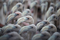 Creche of young American Flamingos (Phoenicopterus ruber). Like adults, young flamingos are highly gregarious, more comfortable in dense flocks<br /> than on their own. Rio Lagartos Biosphere Reserve, Yucutan, Mexico. September.