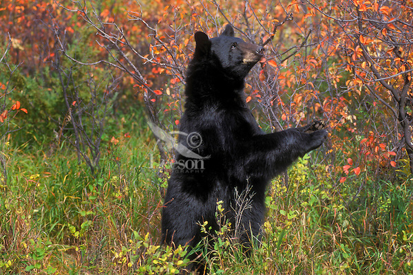 Black Bear in chokecherry patch..Autumn. Rocky Mountains..(Ursus americanus).