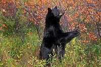 Black Bear in chokecherry patch..Autumn. Rocky Mountains..(Ursus americanus).