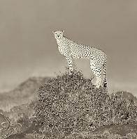 Acinonyx jubatus<br /> <br /> Cheetah on a termite mound Masai Mara.