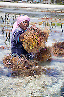 Jambiani, Zanzibar, Tanzania.  Woman Harvesting Seaweed.  It will be exported to Asian markets after drying.   Tending the plots can only be done at low tide.