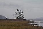 Puget Sound, Hood Canal, Hamma Hamma River estuary, bald eagles, rain, winter, Washington State, Pacific Northwest, USA,