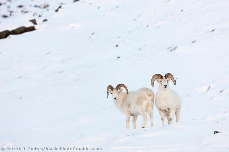 Dall sheep rams in the snow along the Brooks Range mountains in Atigun canyon.