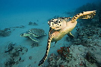 hawksbill sea turtle, Eretmochelys imbricata, foreground, and loggerhead sea turtle, Caretta caretta, background, swimming side by side on a coral reef offshore Jupiter, Florida, USA, Atlantic Ocean