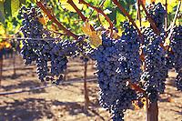 autumn grapes on vine in vineyard Napa Valley California