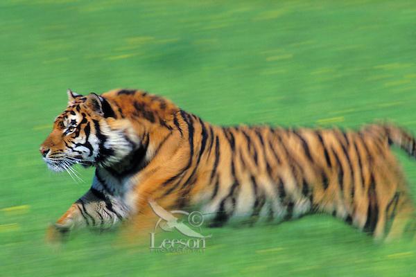Bengal Tiger (Panthera tigris tigris) running