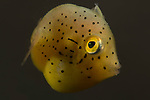 Juvenile yellow filefish, Indonesia