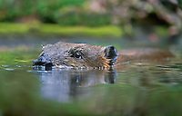 American Beaver (Castor canadensis) swimming in pond.  Pacific Northwest.  Fall.