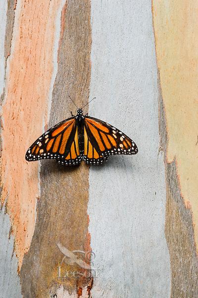 Western Monarch Butterfly (Danaus plexippus) on the side of a Eucalyptus tree, coastal California.  Winter.