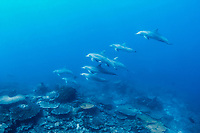 A small group of Indo-Pacific bottlenose dolphins (Tursiops aduncus) hunting around the sea mount, Takat toko (Castle rock), Gili Lawalaut, Komodo, Flores sea, Indian Ocean, Indonesia, Asia