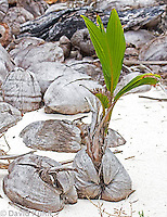 0106-1202  Coconut Palm Palm Germinating on Beach in Caribbean (Half-Moon Caye, Belize), Cocos nucifera  © David Kuhn/Dwight Kuhn Photography