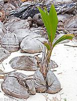 0106-1202  Coconut Palm Palm Germinating on Beach in Caribbean (Half-Moon Caye, Belize), Cocos nucifera  © David Kuhn/Dwight Kuhn Photography