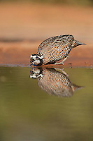 Northern Bobwhite (Colinus virginianus), male drinking at pond, Rio Grande Valley, South Texas, Texas, USA