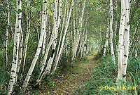 MT02-014a  Forest - path, white birch, Acadia National Park, Maine