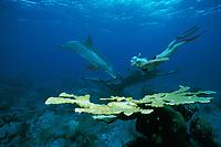 JoJo, a wild sociable bottlenose dolphin, Tursiops truncatus, or ambassador dolphin, swims with a friend off Providenciales. Caribbean Sea, (Provo), Turks and Caicos Islands (W. Atlantic Ocean)