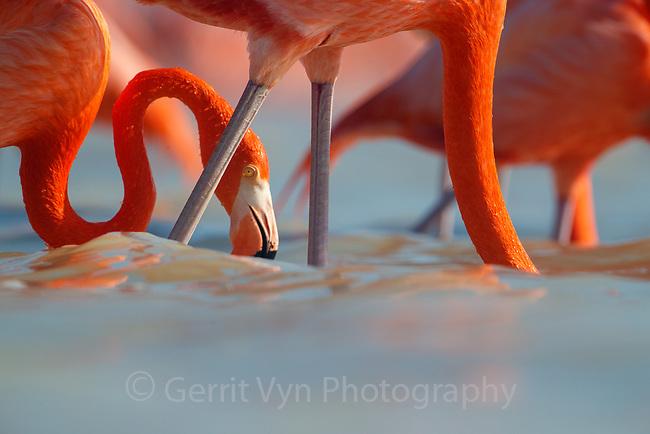 American Flamingo (Phoenicopterus ruber). Yucatan, Mexico.