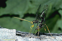 1W17-002a  Giant Ichneumon Wasp - Megarhyssa atrata. - laying egg through wood to parasitize Tremex columba (horntail) developing inside