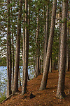 Red pines along the shore of Black Lake in northern Wisconsin.