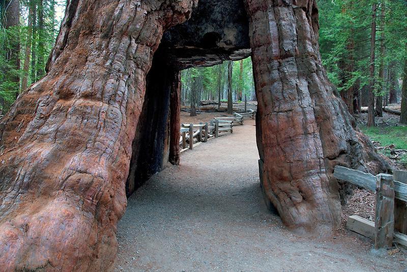 Tunnel tree. Mariposa Grove. Yosemite National Park, California