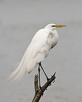 Great Egret, Choke Canyon State Park, Texas