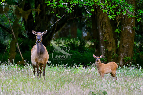 Roosevelt Elk (Cervus canadensis roosevelti) cow and calf, sometimes called Olympic Elk, standing in meadow.  Olympic National Park, WA.  Summer.