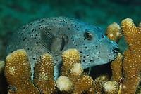 pufferfish, Arothron diadematus, Similan Islands, Andaman Sea, off the coast of Phang Nga Province, southern Thailand, Indian Ocean