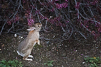 A rabbit, exploring bushes at the MLK Regional Shoreline in Oakland, California,  stops to sniff and likely nibble a bit.
