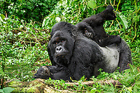 Kwitonda Mountain Gorilla Troop, Volcanoes National Park, Rwanda