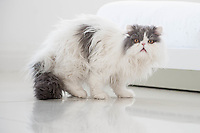 "COPY BY TOM BEDFORD<br /> Pictured: Mr Darcy the cat <br /> Re: A home-loving mum is looking forward to a bright 2017 - everything she owns is white.  <br /> Claire Dix, 51, lives in white house where all the inside walls, floors and ceilings are white.<br /> Her furniture is white, her sheets and towels are white - even her Persian cat Mr Darcy is white.<br /> She drives a white Porsche sports car and the other family car is - you've guessed, it white.<br /> And to keep her home spotless she even has a white, limited-edition Dyson cleaner.<br /> Claire said: ""It's not an obsession, just a matter of style - I happen to like white."