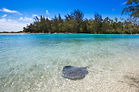 Stingray swimming near the beach, in front of a deserted motu, in Mooera island's turquoise lagoon, near Tahiti, French Polynesia, Pacific Ocean