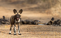 The highlight of our visit to MalaMala was an encounter with a pack of wild dogs.  There were five adults and nine pups in this pack.