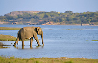 Asian Elephant (Elephas maximus maximus), adult, walking in shallow water, Yala National Park, Sri Lanka, Asia